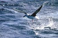 Albatrosses in Danger