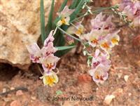 Organic South African Flowering Bulbs Garden